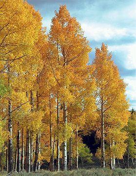 Fall Aspens Wallpaper Heidrich S Colorado Tree Farm Nursery Nursery Stock