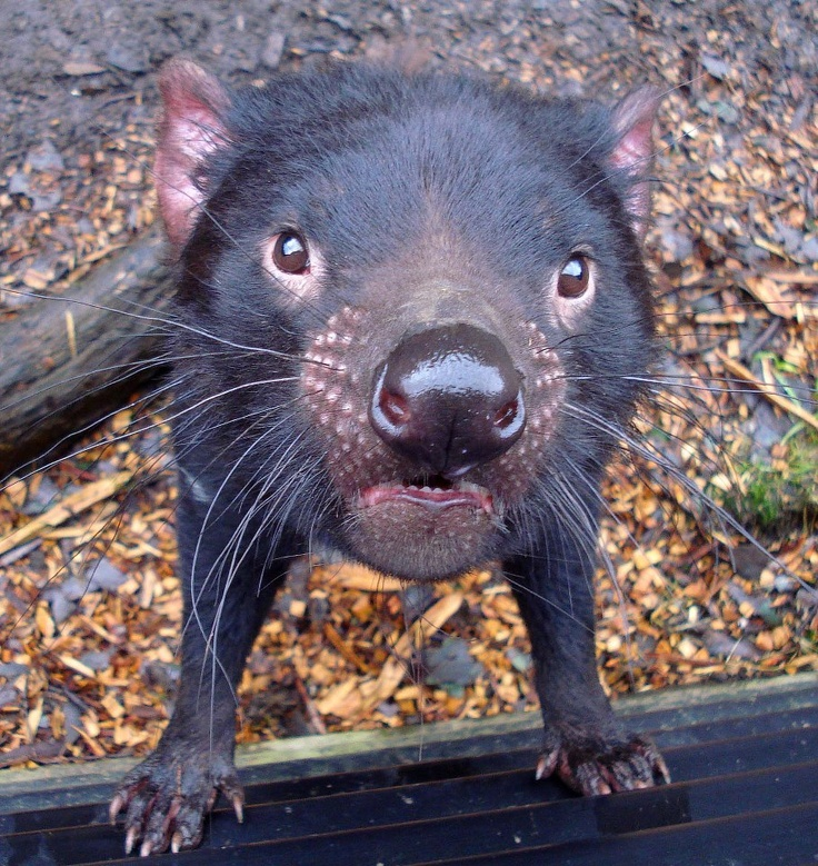 Black Jack is an adult male Tasmanian Devil who is very confident and curious. Snapped here taking the time to check out whats going on! - from Discover Tasmania