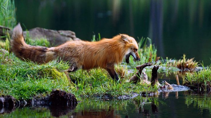 red fox mom playing | Red fox mother play-fighting with ...
