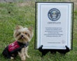 """This Jan. 7, 2012 photo provided by Howie Williams shows Lucy, with her Guinness Book record certificate for smallest working dog in the world in Smithville, N.J. Tiny """"Lucy,"""" who weighs just 2 1/2 pounds, was named the world's smallest working dog last week, bumping out a 6.6-pound police dog in Japan. Three-year-old Lucy works as a therapy dog through the Cherry Hill program Leashes of Love. (AP Photo/Howie Williams)"""