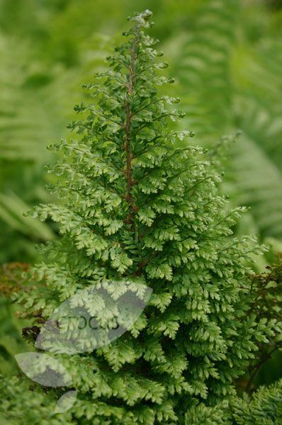 Polystichum setiferum 'Plumosomultilobum' soft shield fern (syn. Plumosum Densum)