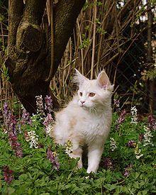 Maine-Coon-Katze – Wikipedia