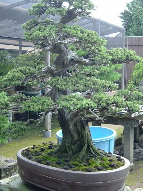Japanese bonsai this is amazing.  So beautiful and old.