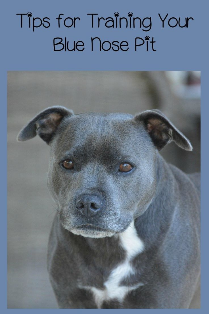 You might think you need Pitbull puppy training tips on training up your Blue Nose Pit, but a Blue Nose Pit is no different than any other Pit.