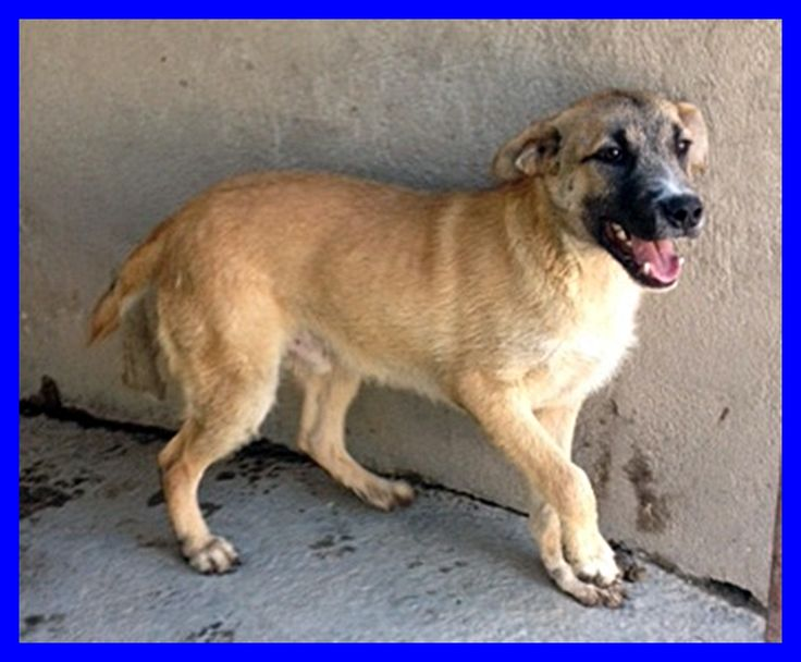 MADDOCK cucciolone 1 anno buonissimo viveva in strada - http://hormiga.it/maddock-cucciolone-1-anno-buonissimo-viveva-in-strada/ Adoption, Adozioni Cani, Canili Gattili Rifugi, Volontari da aiutare