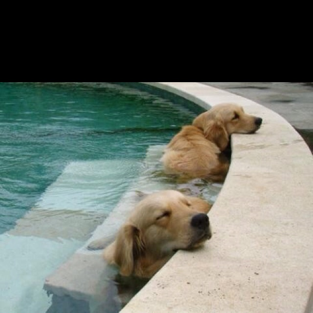 chillaxin'Pools Time, Puppies, Hot Summer Day, Dogs Day, Naps Time, Hot Day, Happy Dogs, Animal, Golden Retriever