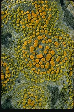 "**The ""seaside firedot lichen"", Caloplaca inconspecta, on breakwater rocks, San Francisco Bay, California.  Photograph copyright Stephen/Sylvia Sharnoff"