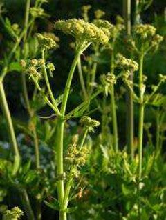 Angelica sinensis Dang Gui - Dong Quai - Chinese Angelica. Natural hormone regulator