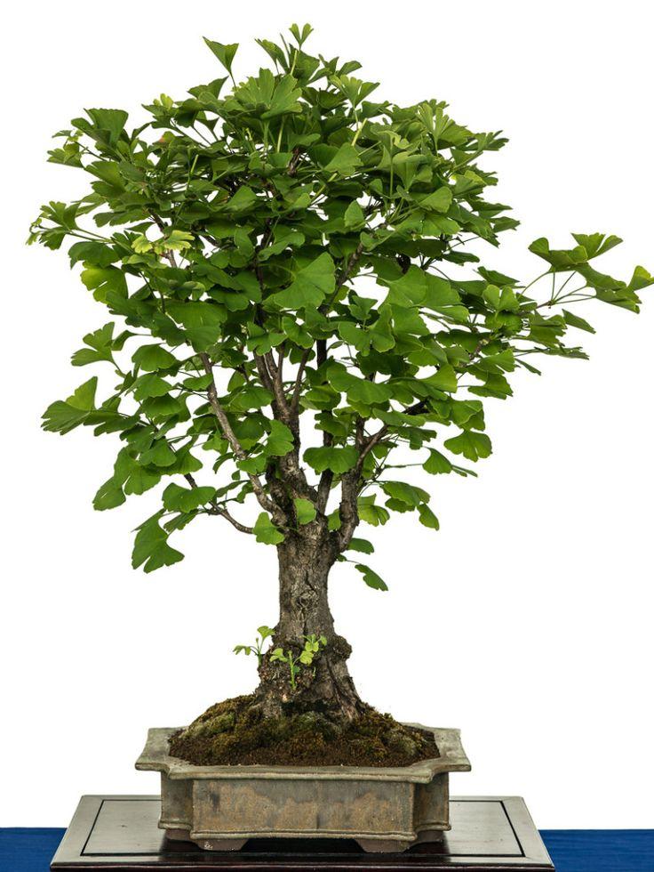 21692 best bonsai images on pinterest bonsai bonsai trees and bonsai art. Black Bedroom Furniture Sets. Home Design Ideas