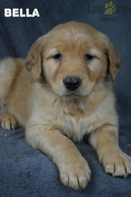 Goldenretriever Golden Charming Puppiesofpinterest