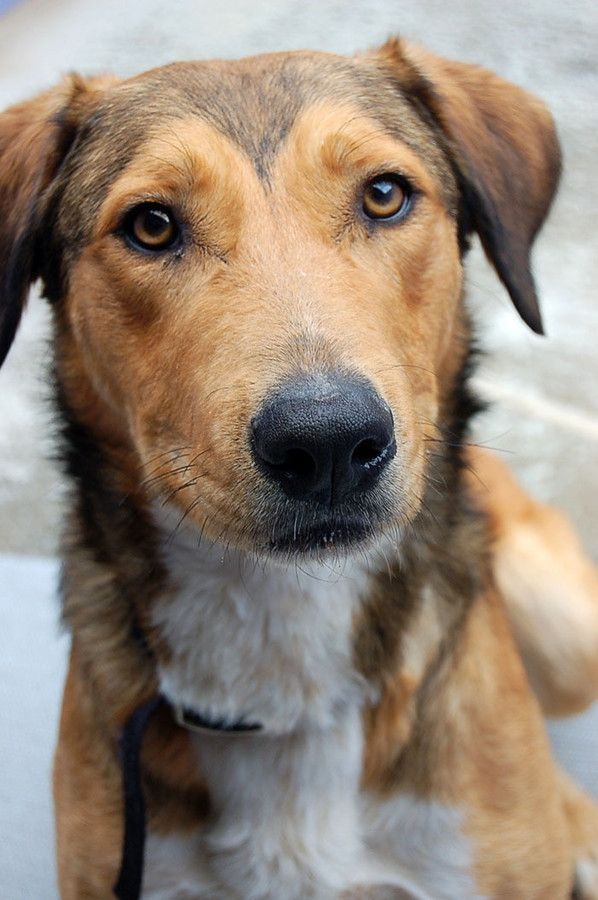 Wolfie German Shepherd X Rhodesian Ridgeback Mix Dog
