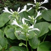 Hosta plantaginea var. japonica. Click image to learn more, add to your lists & get care reminders Other names: Japanese fragrant plantain lily, Hosta plantaginea var. grandiflora  Species: H. plantaginea var. japonica - H. plantaginea var. japonica is a clump-forming, herbaceous perennial with glossy, wavy, ovate to lance-shaped, mid- to light green leaves and narrow, bright green scapes bearing racemes of fragrant, trumpet-shaped, white flowers in late summer and early autumn.