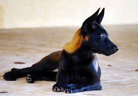 This is a Sable colored Belgian Malinois. Mechelse herder