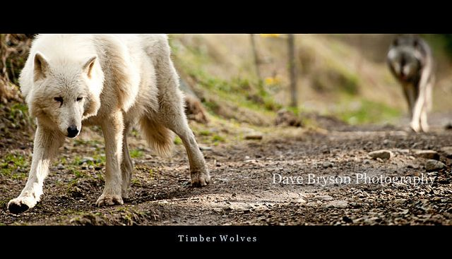 5702-Timber-Wolves - Dave Bryson | The white Wolf is called … | Flickr