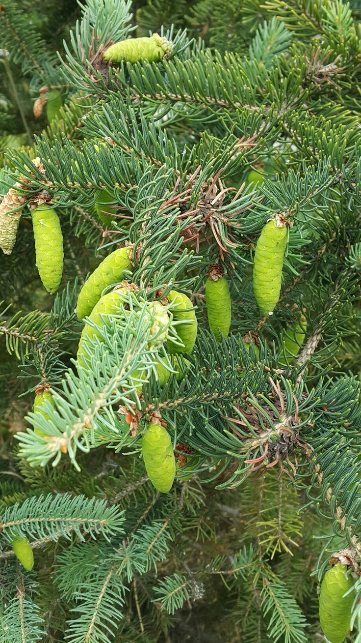 Tiny cones on a tiny spruce