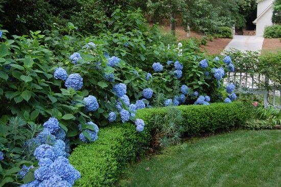 H Macrophylla Nikko Blue With Boxwood Hedge Plomgrens
