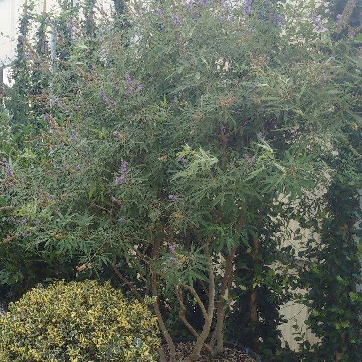 Vitex agnus-castus multitrunks - cèpe plants @ www.andreinipiante.it