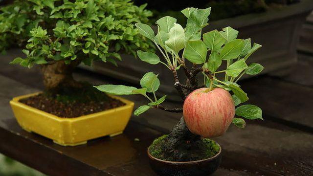 Evde mini mini elmalar yetiştirmenizin çok basit bir yolu var!