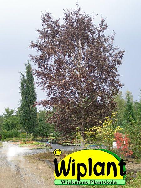 Betula pubescens 'Rubra', finsk rödbjörk. Röda blad och vit stam. Rödbjörken växer långsammare än vanliga björkar och invintrar också snabbare på hösten. Tillgången på plantor är begränsad och man bör därför beställa lång tid på förhand.