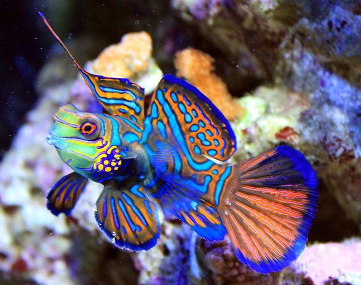 Mandarinfish, also called the Mandarin goby or Mandarin dragonet. A saltwater fish found from the Japanese Ryukyu Islands south to Australia.