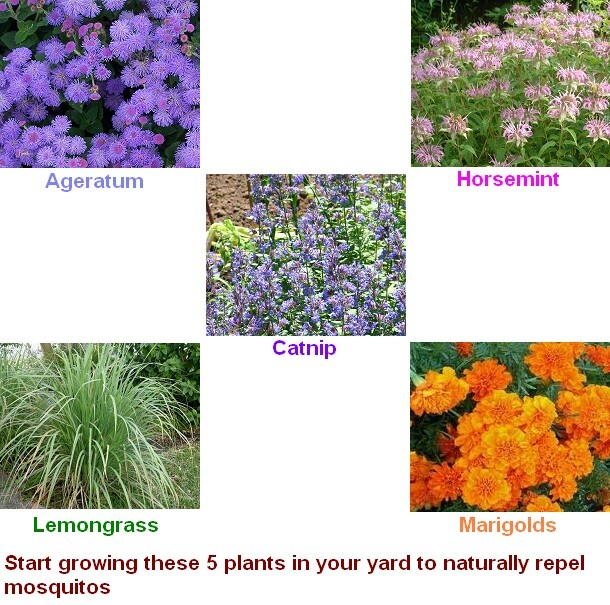 68 best images about mosquito bug solutions on pinterest for Best plants to keep mosquitoes away