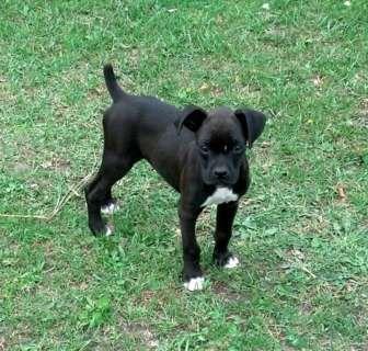 Black Boxer Pups 36