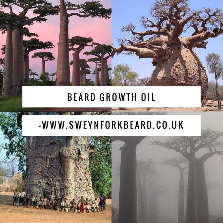 Our Beard Growth Oil contents more than 8 oils including the oil produced by the amazing Baobab Tree. Apply it in the skin under the beard and beard for cover the patches and grow the thickness www.sweynforkbeard.co.uk #beardgrowthoil #baobab #organic #beardgrowth #beard #goals #stoppatches #bearded #beatdoil #aceitecrecebarba #malegrooming #skagg #barbershop #grooming #mensgrooming