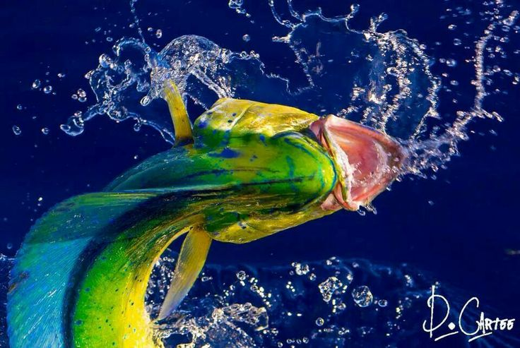 70 best yellowfin tuna images on pinterest yellowfin for Best saltwater fishing times