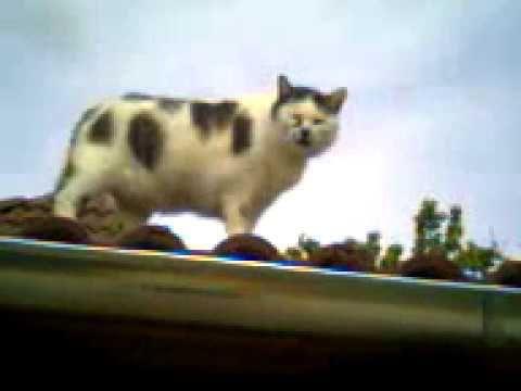 Maci a tetőn