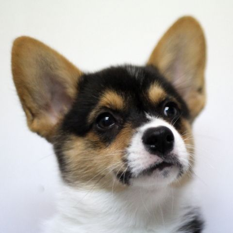 ~ Black and Tan Pembroke Welsh Corgi ~