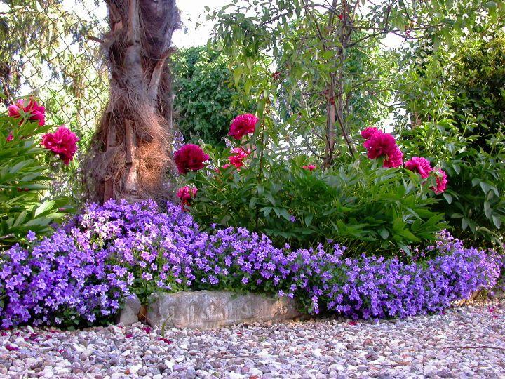 Campanula muralis and peonies gardening pinterest for Paisajismo jardines