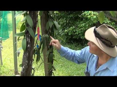 Pollinating Vanilla flowers within Australia has to be done individually by humans as there are no insects native to the country to perform this role.  Within this video Fiona George from Broken Nose Vanilla shows us how to perform this delicate task. Fiona and husband Matt Allen have around 2000 -- 3000 vanilla plants and value add from the beans.  We also see beans at differing growth stages on their way to maturity.   ENJOY.  Kind regards, Paul Oliveri 100 Mile Author