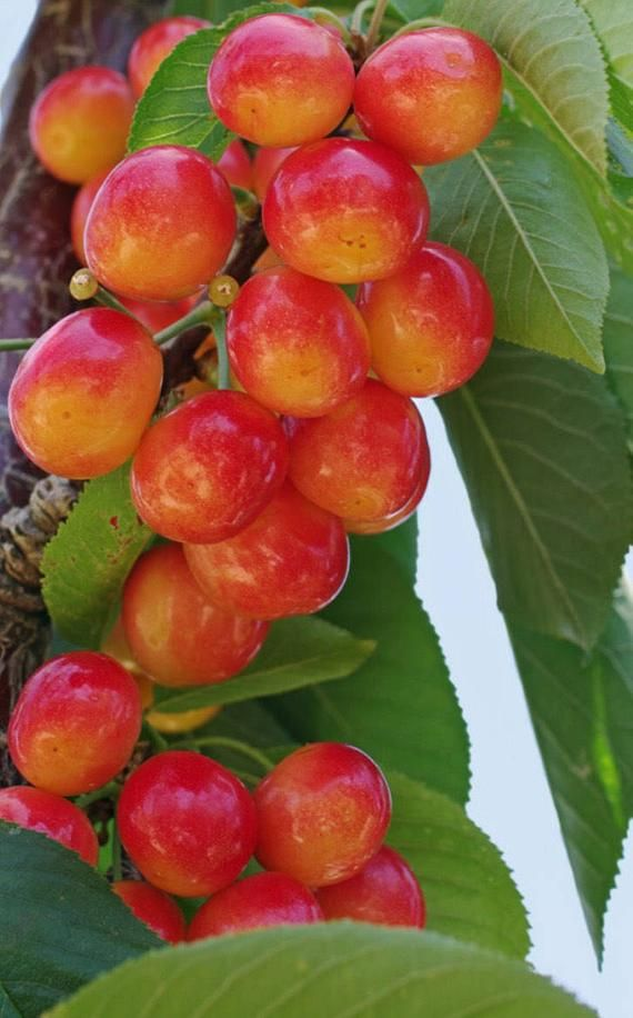 Rainier Cherries Are Some Of The Most Expensive And Sought After Fruit Per Pound In North America And For Good Re Fruit Garden Dwarf Fruit Trees Growing Fruit