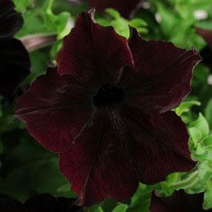 Sophistica Blackberry Petunia Plant