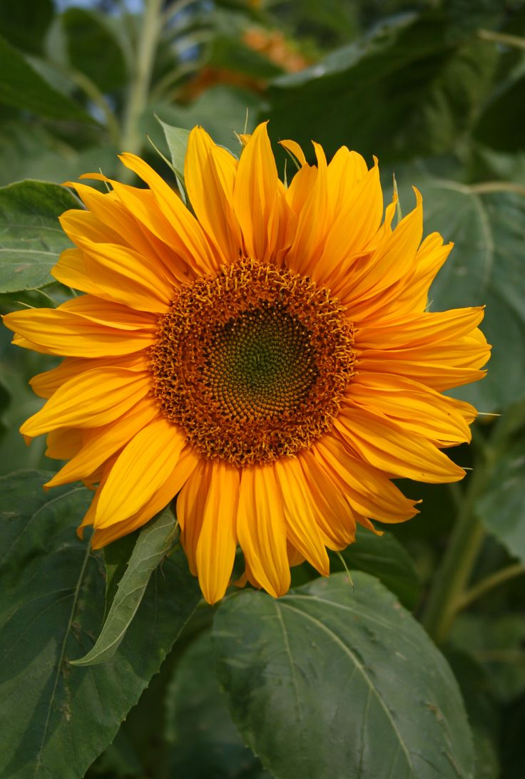 Sunflower color