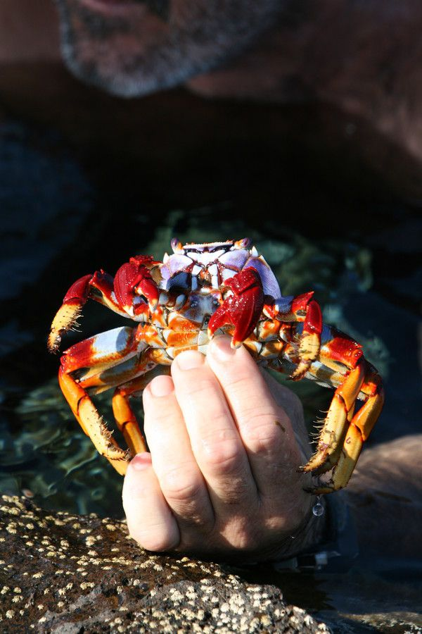 The capture of the Selvagens Islands crab by Pedro Quartin Graça on 500px