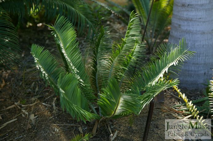 Encephalartos caffer. This is a great green, dwarf Encephalartos (African cycad). It will do well in and complement most gardenscapes. I highly recommend it to people who are looking for something rare and don't want a garden that everyone else has.