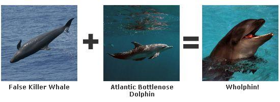 wholphin,mix de dauphin et d'une fausse orque.
