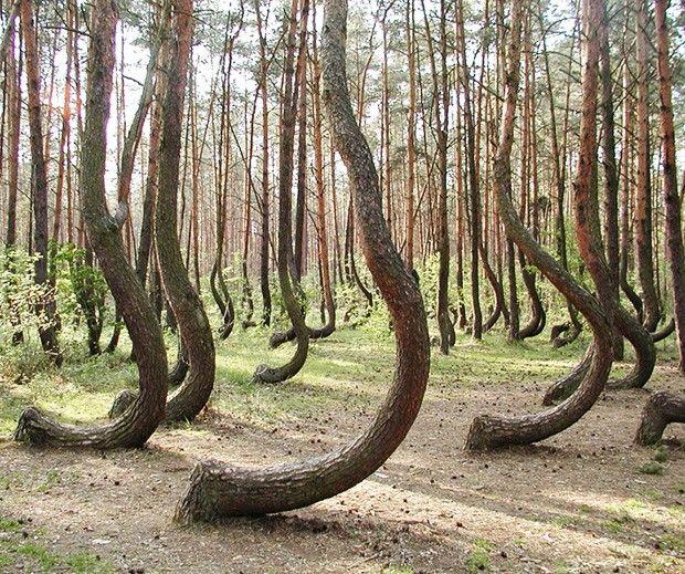 Floresta curvada - Polônia  Localizada na divisa noroeste da Polônia com a Alemanha, um bosque com cerca de 400 pinheiros surpreende todos com a base de seu tronco curvado. Pouco sabe-se sobre como aquilo foi feito, mas há registros que elas surgiram em 1930, por meio de manuseio humano A técnica, entretanto, permanece desconhecida.
