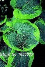 Bonsai Nasiona szybkie kiełkowanie HOSTA OLIWA BAILEY LONDON 20 świeże nasiona jesienią 2014 roku kupować żadnych 5 get 1 free (Chiny (kontynentalne))