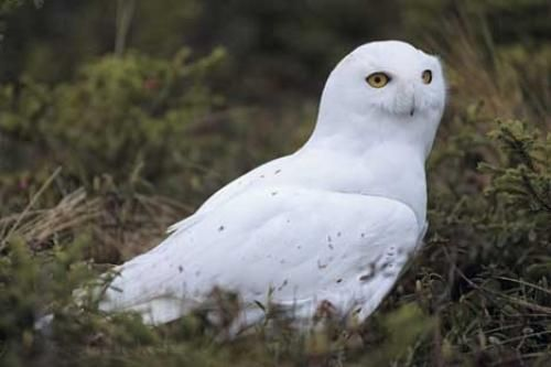 Photo of a snowy owl, Bubo scandiacus, in the arctic near Churchill in Manitoba, Canada.