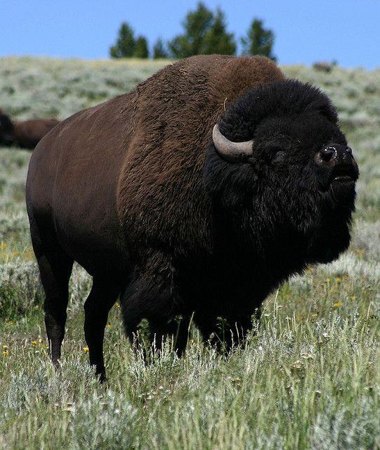YGT National Park Hayden Valley bison