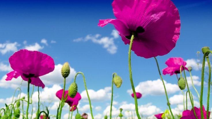 Pink Poppies Wallpaper