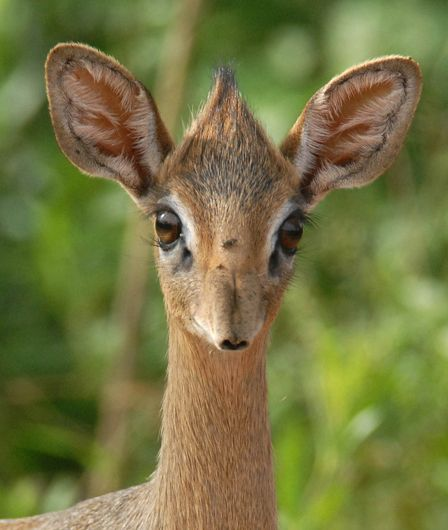 Tiny dik-dik antelope in the Genus Madoqua that lives in the bushlands of eastern and southern Africa.  - Photo: bobascott/Shutterstock