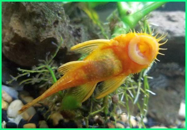 5 Ikan Yang Cocok Digabung Dengan Ikan Mas Koki Ikan Ikan Siklid Aquarium