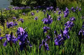 spring flowers Shelburne, Vermont.