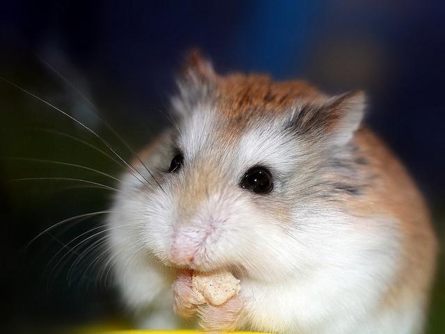 Hamster roborovski Cloud  by home77_Pascale, via Flickr