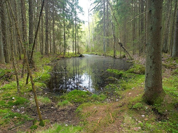 A small swamp lake in the middle of the trees.
