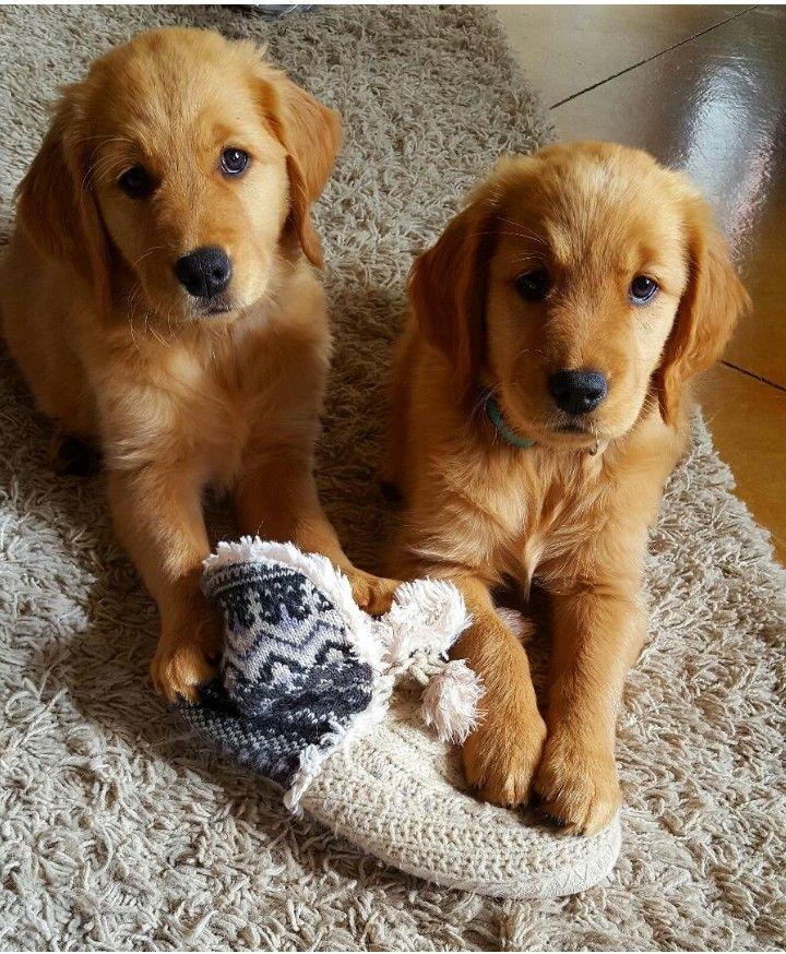 Golden Retriever Sister Pups Bella And Ember Retriever Golden