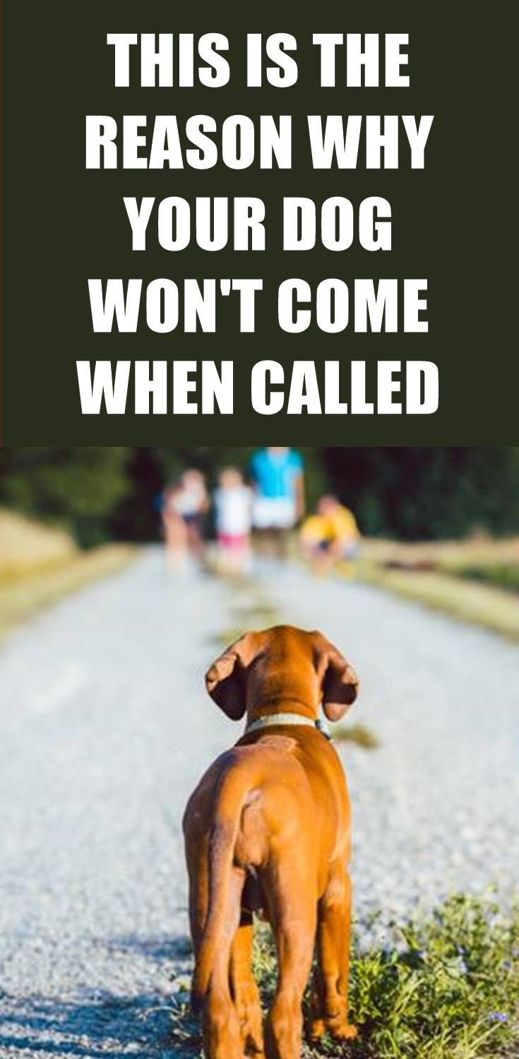 Does Your Dog Come Every Time When Called Does He Get Easily